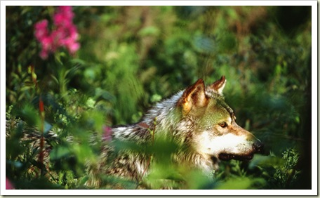 Gray Wolf - Photo Courtesy of EarthJustice.or
